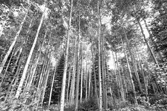 World of The Forest (Cathy Neth) Tags: 1424mm 2016inphotos 365photoproject 365project flowermoundphotographer flowermoundphotography forest sanjuannationalforest beautifullandscapes bluesky cathyneth cathynethphotography circularpolarizer cnethphotography colorado coloradolandscapes d810 landscape landscapephotography landscapes leefilters lookingup nature naturesbeauty nikon nikond810 pagosasprings pagosaspringscolorado pagosaspringslandscapes project365 rollingwhiteclouds treephotography trees whiteclouds whitepuffyclouds aspen aspentrees blackandwhite blackandwhitephotography blackandwhitelandscapephotography