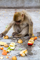 A Barbary macaque in the middle of a meal (TimOve) Tags: vacation ferie trip summer sommer barbarymacaque rockape gibraltar therock monkey meal potatoes apples