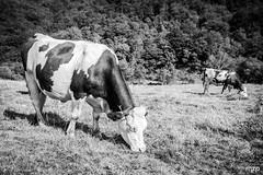 Vaches dans la valle de chaudefour (mzagerp) Tags: auvergne valle de chaudefour puy sancy des crbasses mont dore chastreix cirque la fontaine sale ferrand perdrix france montagne volcans volcano massif central