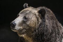 Grizzly Bear (FlickrdeChato) Tags: sandiegozoo sandiego zoo grizzlybear grizzly bear oso osogrizzly sonyflickraward