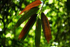 IMG_0432_1 (pavel.milkin) Tags: thailand phangngan tonprai forest leaves tree gogreen green travel canon canon550d 550d helios helioslens helios442 442 old colour endlesssummer bokeh bokehlicious jungle
