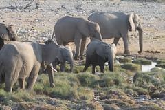 Namibia 2016 (357 of 486) (Joanne Goldby) Tags: africa africanelephant august2016 elephant elephants etosha etoshanationalpark explore loxodonta namiblodgesafari namibia safari