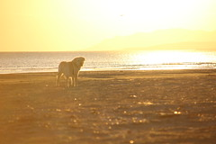 golden Taylor (Ursi C.Borealis) Tags: golden dog labrador taylor swimming out there anthia beach alexandroupolis exotic