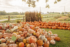 September Morn (Denise @ New Mercies I See) Tags: 2016 autumn ohio september pumpkins farm morning outdoors country countryside holmescounty garden mthope