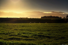 Today's Menu - Light Spring Lamb Seasoned... with Greens (Kevin_Jeffries) Tags: sheep newzealand hills tree gold golden light sun nikon d90 field pasture jeffries new lamb littlestories picswithsoul