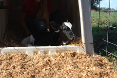 IMG_3219 (UGA College of Ag & Environmental Sciences - OCCS) Tags: teachingdairy ugateachingdairy cow kaylaalward holstein jersey calf calves studentworker collegeofagriculturalandenvironmentalsciences animalanddairyscience babycow athenscampus barn dairybarn