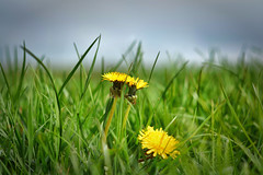 Dandy Lyin' (Kevin_Jeffries) Tags: dandylyin bokeh green yellow blue nature natura grass dandelion nikon nikkor d7100 50mm