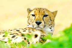 Male Young Cheetah, Asnaro of Yokohama Zoological Gardens :  (Dakiny) Tags: 2016 spring april japan kanagawa yokohama asahiward outdoor nature park zoo zoorasia yokohamazoologicalgardens creature animal mammal carnivore feline savagebeast beastofprey bigcat cheetah yellow nikon d7000 tamron 70300mm sp70300mmf456divcusd a005 modela005 nikonclubit