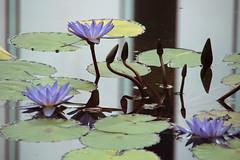 Water Lilies (Toni Kaarttinen) Tags: japan  japonia    jap japonsko jaapan  japani japon xapn    japn jepang an tseapin giappone  japna japonija  japo  japonska japn hapon  japonya nht bn tokyo tokio japanese waterlilies pond