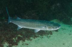 DSC_6713 (bajo_el_mar) Tags: 2016 asturias lastres mugilcephalus underwater fotosub muil pez
