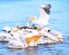 Make A hole You Guys, I'm Comin' In. (Romair) Tags: sliderssunday pelicans topazimpressions rogerjohnson