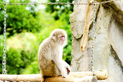 Young Japanese Monkey of Ueno Zoo :  (Dakiny) Tags: 2016 autmn september japan tokyo taito ueno outdoor nature park uenopark zoo uenozoo creature animal mammal primates monkey macaque apanesemonkey japanesemacaque bokeh nikon d7000 sigma apo 70200mm f28 ex hsm apo70200mmf28exhsm sigmaapo70200mmf28exhsm nikonclubit