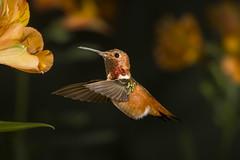 Al in Orange (Patricia Ware) Tags: allenshummingbird alstroemeria backyard birdsinflight california canon ef500mmf4lisusm manhattanbeach multipleflash selasphorussasin tripod httppwarezenfoliocom 2016patriciawareallrightsreserved specanimal