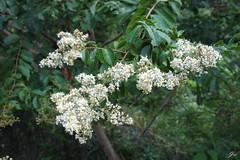 @ Taitung, Taiwan  (Jia  ) Tags:         taiwan taitung flower white tree green gf2 panasonic