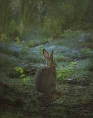 Little one of the forest 2016 (TheArtOfPhotographyByLouisRuth) Tags: bunnyanimalwildlifeforesttreeslightmorninglightcutecuddleybunniesrabbitpetfurry outdoor pet cute bunny rabbit soft hair magical softlit wildlife boiseparks canondslrusers canoneos5dmarkiii canonphotography idahophotographers wildlifephotographers idahozen stunning flickr flickrphotos exclusive sell photos prime art furry shutterstock istockphoto bigstock dreamtime fotlia gettyimages stockadobe fineartamerica photoshelter artfinder etsy love pets animalplanet fairytale bookcover viewpoint perspective specialistnaturewildlifephotographers allthingsearthy