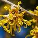 Vernal Witch-hazel Flower Closeup