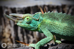 Nova (StudioTwo.Eight) Tags: green reptile lizard chameleon jacksons studio2eight