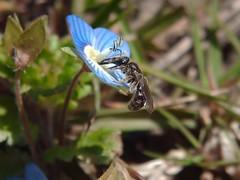 Lasioglossum (Evylaeus) sp. - Halictidae f (bleu.geo) Tags: bee abeille biodiversity hymenoptera wildbees solitarybee biodiversité hyménoptère abeillesauvage abeillesolitaire