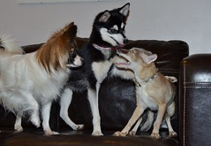 The papillon, the klee kai and the corsac fox (Flashman foxes) Tags: dog cute dogs adorable sprite papillon valla corsacfox alaskankleekai vulpescorsac flashmanfoxes dillydiamond