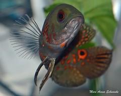 Baby oscar cichlid (nightwished) Tags: pet fish animal oscar nikon tropical freshwater cichlid tigeroscar d5100