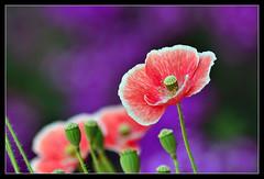 396 - Poppies (ArvinderSP) Tags: flowers nature closeup spring nikon bokeh poppy buds pods 2013 tamronaf70300mmf456dild d3100 arvindersp