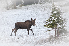 Spring, Really? (dbushue) Tags: wild snow nature spring nikon wildlife moose yellowstonenationalpark wyoming calf 2012 ynp supershot specanimal dailynaturetnc13 photoofthedaynwf13