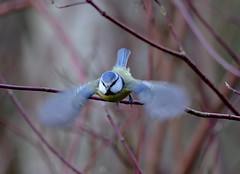 Ghostly Blue Tit (Photo Crazy Rob) Tags: uk blue blur birds wings nikon tit ghost flight rc stockgrove rushmere 2013 d7000 rac60