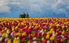 Spring Drama (Eric.Vogt) Tags: old flowers blue sky tractor storm color festival oregon spring blurry unitedstates tulips bokeh farm stormy tulip johndeere woodburn woodenshoetulipfarm