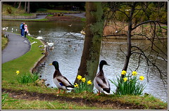 Bird's eye view (The Old Brit) Tags: flowers trees lake nature water birds spring wildlife ducks april ornithology southport birdseyeview daffodils anasplatyrhynchos scapes sprin