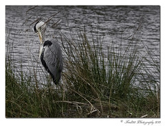 Grey Heron (Fred255 Photography) Tags: uk england nature canon hampshire l usm horseshoelake ef gp manfrotto yateley eos1ds markiii llens greatphotographers canonef135mmf2l frameit ef135mm 1dsmk3 canoneos1dsmarkiii naturethroughthelens mygearandme fred255 greaterphotographers
