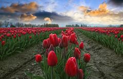 Red Tulips and Orange Sky, Skagit Valley, Washington (i8seattle) Tags: flowers sunrise spring tulips skagit springflowers skagitvalley skagitvalleytulipfestival tulipfestival skagitcounty tulipfields tulipsfestival skagittulipfestival skagitvalleytulips skagitcountytulipfestival