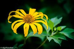 Vivid wilting flower (dgarkauskas) Tags: flower macro nature yellow closeup nikon flickr close natureza flor vivid wilted wilting amarela murcha 80200mmf28d d7000 dgarkauskas
