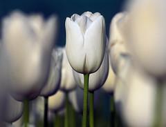 01 (Ahmer M Khan) Tags: flowers summer india white tulips kashmir srinagar