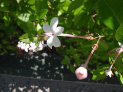 Addu city privet flowers (Nasaw views) Tags: gan hithadhoo hankede feydhoo gaukedi maradhoo adduatoll rujjehera maradhoofeydhoo adducity cyclingfromgantohithadhoopassingthrufeydhoomaradhoofeydhoomaradhoohankedegaukedirujjehera