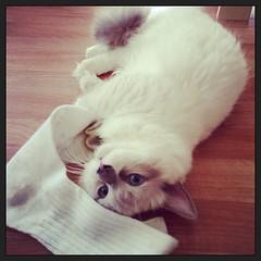 แมวเมา Drunk Cat #ภาพเก่าเล่าใหม#cat#kitty#kitten#cataholic#catcafe#cafe#catnip#blueeyes#cute#pet#sock#catlover#petlover#ozono#sukhumvit39#bkk#bangkok#thailand