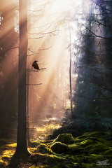 This strange land (just.like.that.) Tags: light wild cold forest evening moss woods warm afternoon sweden ground fairy fantasy rays crow mossy tale dreamscape patricivan
