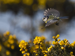 Spring (Alchimi) Tags: uk birds wales tit bluetit kidwelly