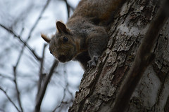 cute (jacksplatt79) Tags: park cute grey rodent squirrel forbes squirel