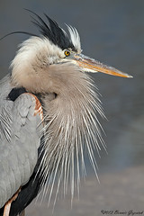 Great Blue Heron  6175 (Bonnieg2010) Tags: wild bird heron florida feathers blueheron greatblueheron avianexcellence coth5 bonniegrzesiak feathersstickingup