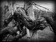 vineyard perspectives - wooden hugs (orlando del pozo) Tags: spring branches pale 150 holz fz wineyard stake reben frhling weinberg wines frhjahr pfahl palatinate