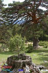 Evolucin del crecimiento de un pino muy particular (Historia de Covaleda) Tags: espaa spain fiesta paisaje douro pinos soria historia pinar tradicion duero covaleda