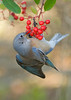 WESTERN BLUEBIRD (sea25bill) Tags: california morning winter red food plant bird berries westernbluebird toyon