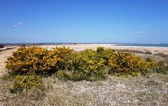 Gorse in Pagham Harbour (MAClarke21) Tags: flowers england plant west nature yellow landscape sussex coast spring harbour south united kingdom selsey pagham gorse 2013