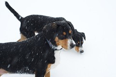 Sage and Dala (Thaddz) Tags: dog snow puppy washington northcascades entlebucher entlebuchermountaindog