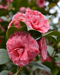 A clutch of pink Camellias (Monceau) Tags: pink group clutch camellias