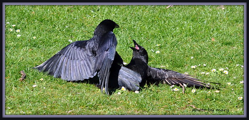 Fightng in the park  .  Crows
