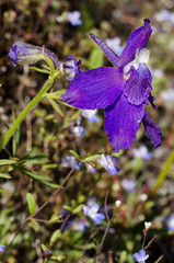 Larkspur & Blue-eyed Mary (LabradorEars) Tags: blue flower macro purple idaho wildflower delphinium larkspur lochsariver tamron90mm collinsia clearwatercounty blueeyedmary collinsiaparviflora