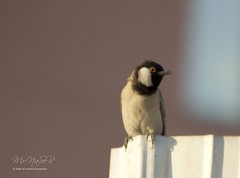 (Naser__salem) Tags: bird birds fly kuwait q8 bulbul naser       alhamed       uploaded:by=flickrmobile flickriosapp:filter=nofilter naseralhamed