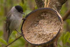 Blackcap 2 (Bassman99) Tags: blackisle gardenbirds scottishwildlife