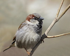 House Sparrow (njchow82) Tags: male bird nature closeup wildlife housesparrow inspiredbylove beautifulexpression thewildlife worldofanimals earthnaturelife nancychow canonpowershotsx50hs